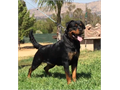 Rottweiler 2 years old Pregnant FemaleAKC Registered Champion Bloodlines Excellent Health and