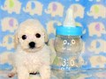Little Jackson is a snow white male small-toy Poodle Pup is current on his shots has been deworme