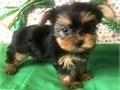 Purebred Yorkie Puppies 9 and 10 week ready for new home  hes very sweet cuddly  Has all his dew