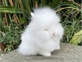 Adorable Purebred Dwarf Double Mane Show Quality Lionhead Baby RabbitBeautiful thick coated baby