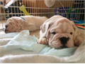 4 beautiful female English Bulldogs ready for there New HomesLots of wrinkles must see call or text