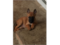 Belgian Malinois Puppies AKC registered Working and Champion lines 3 males left  80000 662-873