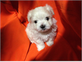 Maltese Hello we have the worlds CUTEST and TINIEST Teacup Puppies 2 Females left The parents a