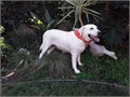 AKC White Labrador Retriever Female Adult She is 2 34 yrs old Perfect for the family that does no