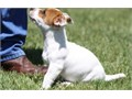 Outstanding Jack Russell Puppies for sale the male and the female are available now Serious buyers