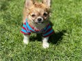 Male and female chihuahuai puppies for adoption and rehomingThey are super cute with amazing play