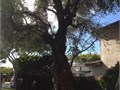 A mature 80-100 year-old olive tree  This is a magnificent specimen with a gnarly trunk to enhance
