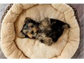 Name PandaAge 8 weeks  Sex MaleBreed Yorkshire terrierSize at Maturity  3-4 lbsVaccin