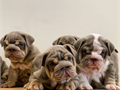 We have 2 chunky fawn boys and 2  girls available for their forever homes the 14 JuneMum is our be