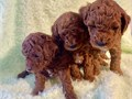 BEAUTIFUL RED TOY POODLE PUPPIES WILL BE READY FOR THEIR FOREVER HOME ON MARCH 1ST JUST IN TIME FOR