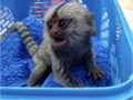 Pygmy Marmoset Monkey that will make a perfect addition to your home She is not aggressive she is