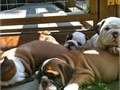 Hi I have 2 AKC English bulldog pups 1 female and 1 male the female is 500 and male 500ready to g