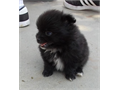 Pomeranian Male  57500 8 weeks Old DO B 0619 Very Cut And Fluffy With All First Shots  Diworm