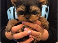 He is a playful and sweet Yorkie puppy He is current on shots and dewormings He is adorable and re
