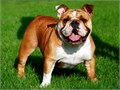 I am a cute and beautiful English  bull dog for sale looking for a new home   well medicated and up