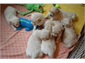 We have 2 cute and adorable Golden puppies for adoption They are home trained and will make a good