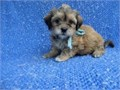 Gorgeous Maltese Shihtzu Puppies ready for loving families Puppies are up to date with shots dewor