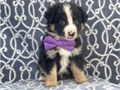 Australian Shepherd Pup for more details and pictures contact me via pwernick7gmailcom or 901