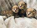 Offering healthy and playful new litters serval kittens All our Catskittens