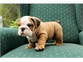 ENGLISH BULLDOG Puppy Full AKC male redwhite 13 wks old potty trained current vaccines Pick