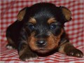male and female Yorkies 406-890-7609 they will be a good friend to your family and friends also the