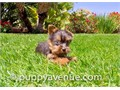 Levi is a 10 week old Black  Tan male Yorkie He has his current vaccines and vet checks and comes