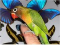 Beautiful Handfed Baby Black Masked Lovebird for 220 Now Shipping Nationwide USA No Emails Please