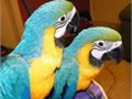 We have this talking pair of blue and gold macaws  17 months old  with all vaccine up to date  ve