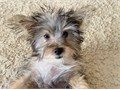 Adorable 17-week-old Yorkie Puppy I have 3 Females and 1 Male available They are fully vaccinated