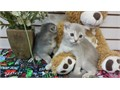 These are beautiful exclusive Scottish Fold kittens that are ready for sale They are healthy and p