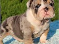Get your family a friendly and playful male and female English bulldog puppies f