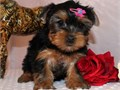 Yorkshire terrier puppiesonly text  405  655 x 8366  for updated pictures and information about th