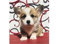 talented Pembroke welsh corgi puppies availableThese puppies akc registered  vet checked and will