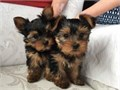 lovable Yorkshire puppies for sale they are all home trained puppies they are lo
