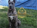 6 MONTHS OLD protection dog KEEP SAFE CANE CORSO READY TO LOOK AFTER YOUR FAMILY1 YEAR HEALTY GU