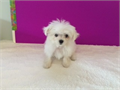 Tiny teacup maltese girlwwwgoodpuppiecomup to date on shots petite body structure will stay