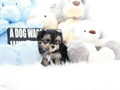 Top quality teacup Morkie pups 3 month old extremely healthy and happy boys shots and wormer up to