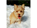Falcor is a handsome golden and chocolate Yorkshire terrier He is vety affectionate and great with