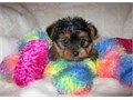 We have very lovely and healthy male and female T-Cup Yorkie Puppies seeking new homes They are Akc