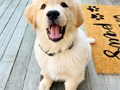 lovely golden retriever puppies available for lovely and caring families for more information get ba
