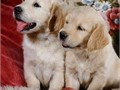 We are not breeders We are a family seeking a caring home for our male and female Golden Retriever