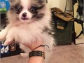 Pomeranian Pups for Adoption11 weeks old puppies for adoption 300 rehoming fee Will come with s