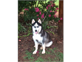 SIBERIAN HUSKY MALE BEAUTIFUL BLUE EYES 7 MONTH OLD 70 POUNDS UP TO DATE ON SHOTS AND WORMINGS