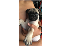 9 week old male pug puppy  in need of a good home Mom is a Black pug and dad is a Fawn color pug h
