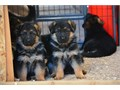 AKC  German Shepherd Puppies   The Dad Was Imported From Alemania Spanish Speakers 323-893-2379