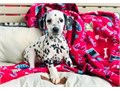 Meet these show-stopping Dalmatian pups These sweet pups are AKC registerable vet-checked and up
