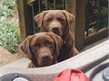 AKC Chocolate Labs Proven 3rd Gen bloodline MF   Bred for Looks Check out the heads on mom and