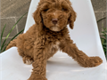 Mini Goldendoodle PupsMFs10wks Shots UTD with papersFor instant feedbackTex