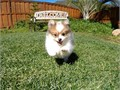 Puppys name OdenBreed PomeranianAge 11 weeks oldRegistry ACAEstimated adult weight 6-8