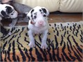 Cute Great Dane Puppies  available for saleThey are lovely and friendlythey pl